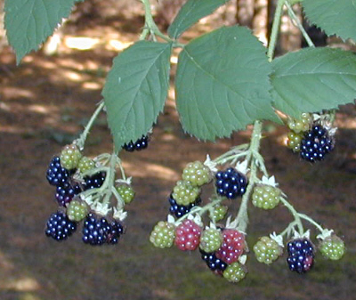 wood-berries.jpg