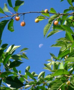 Ripening Cherries under a waning moon